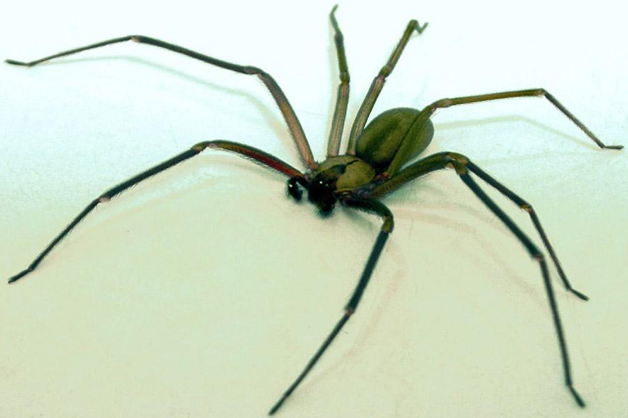 Mexicanos desarrollan antídoto para veneno de araña violinista